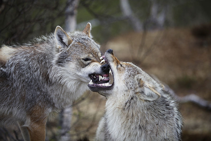 Wolves have 42 teeth.