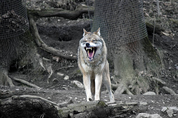 Wolves use facial expressions to show aggression and fear.