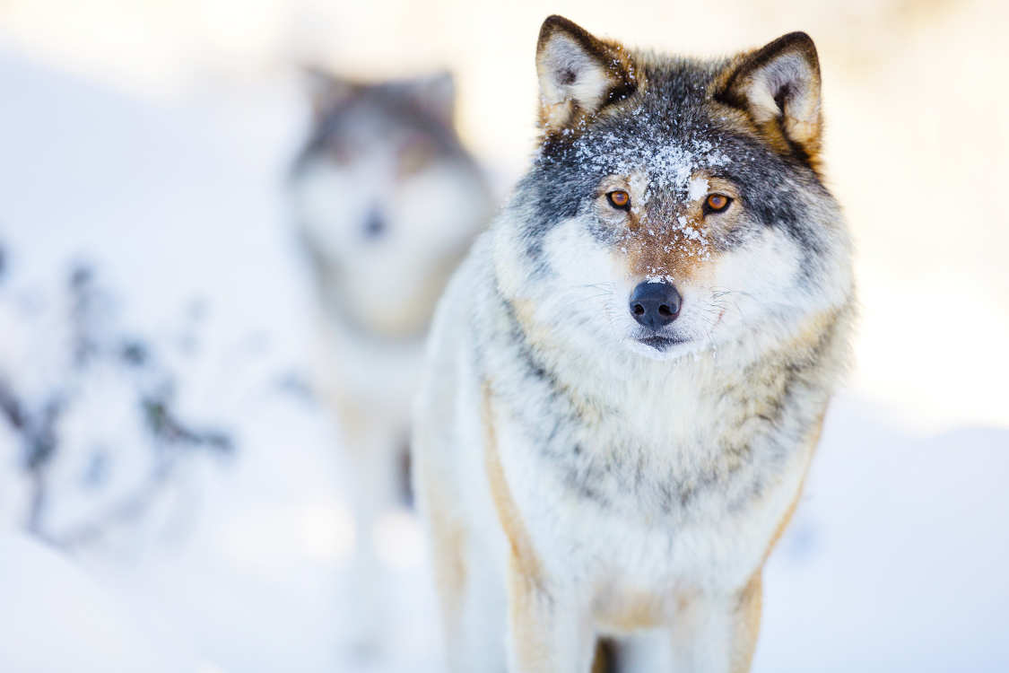 Wolves weigh about 40 kilograms.