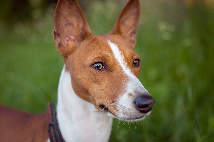 The Basenji is the world's only barkless dog.