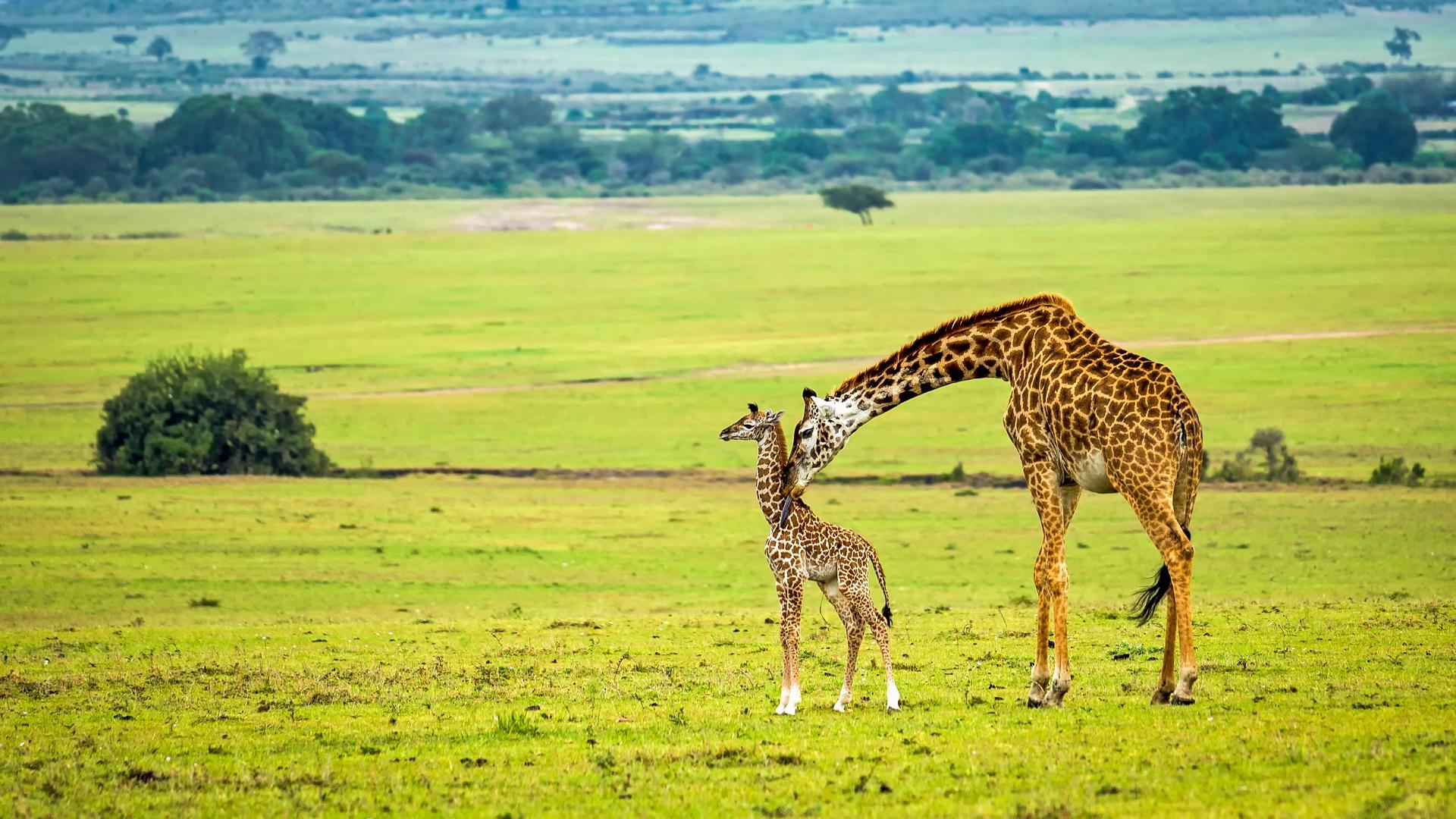A female giraffe is called a cow.