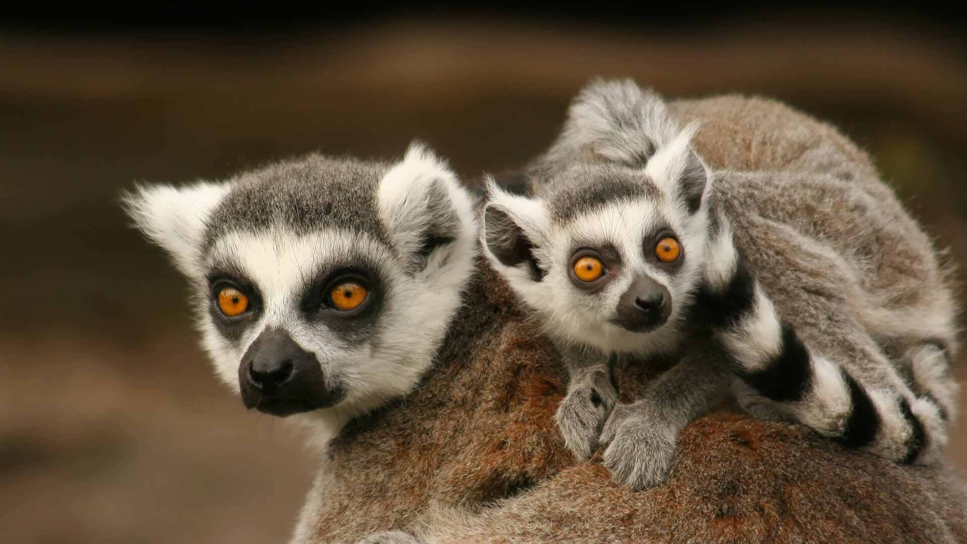 Baby lemurs stay with their mom around two years.