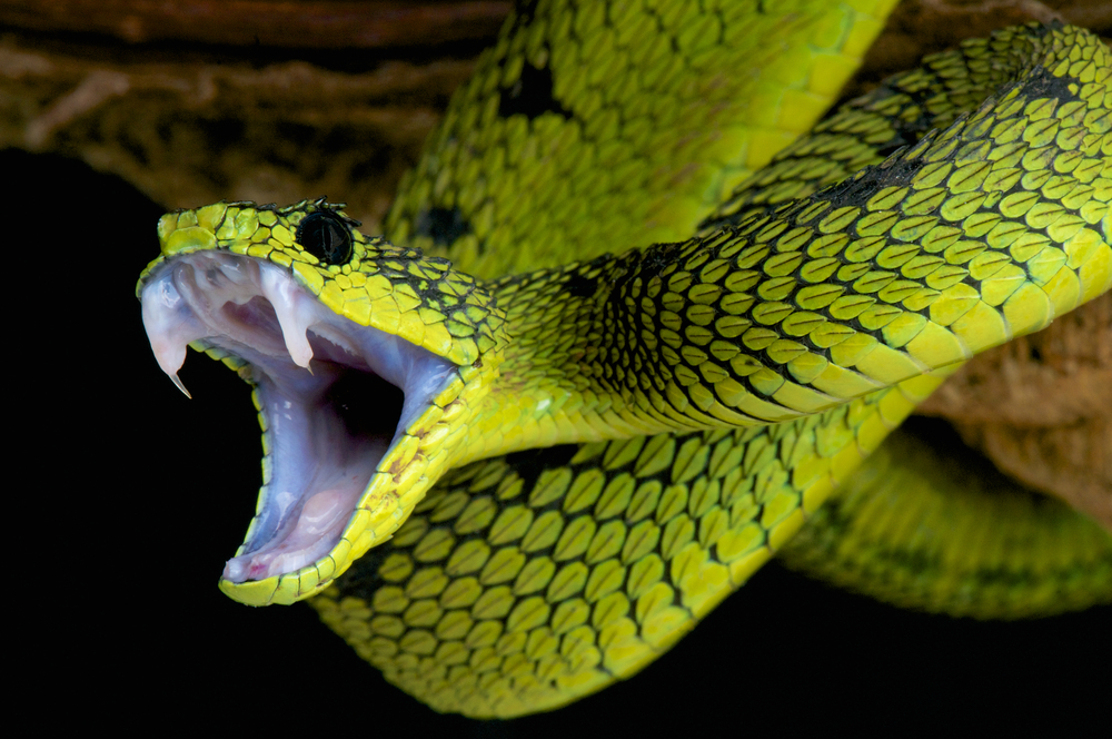 Due to flexible jaws snakes can eat prey bigger than their head.