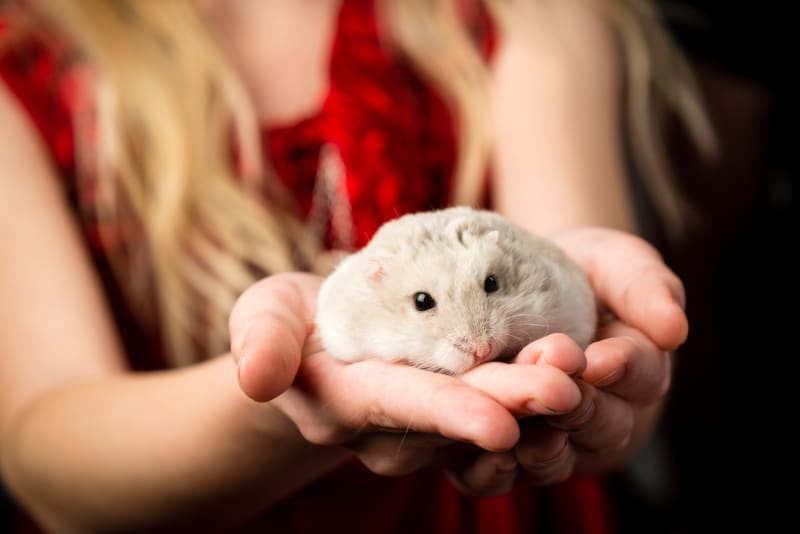 Female hamsters are called sows.