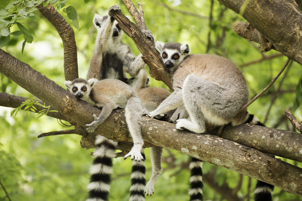 Generally, one female lemur is the head of the troop.
