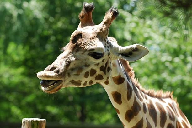 Giraffes have 32 teeth.