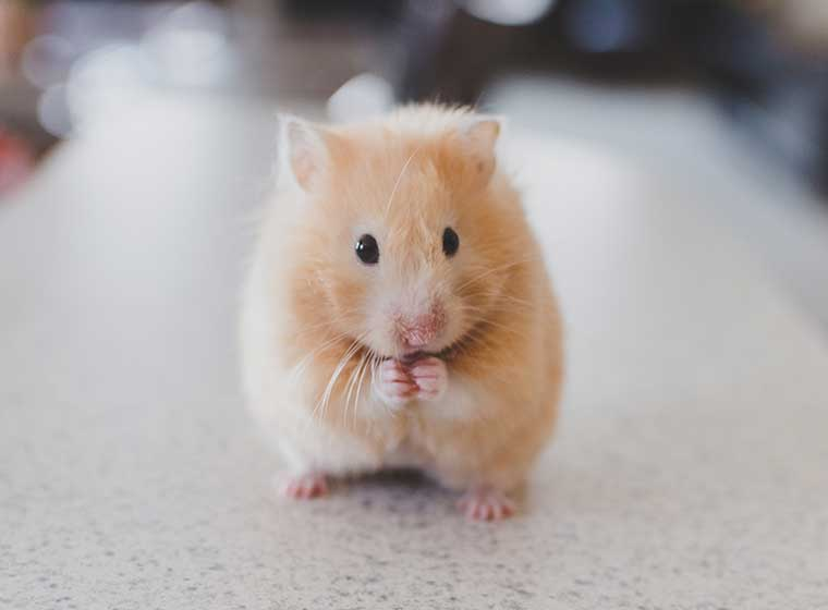 Hamsters have 16 teeth.