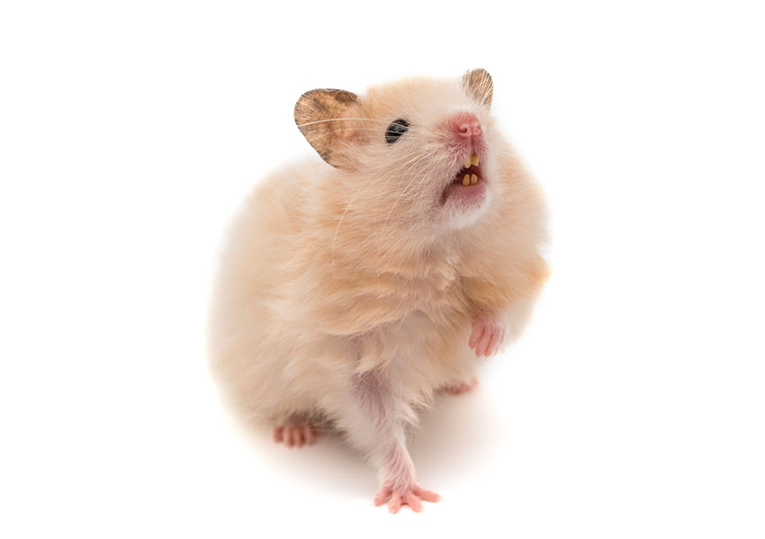 Hamsters have 4 front toes and 5 rear toes.