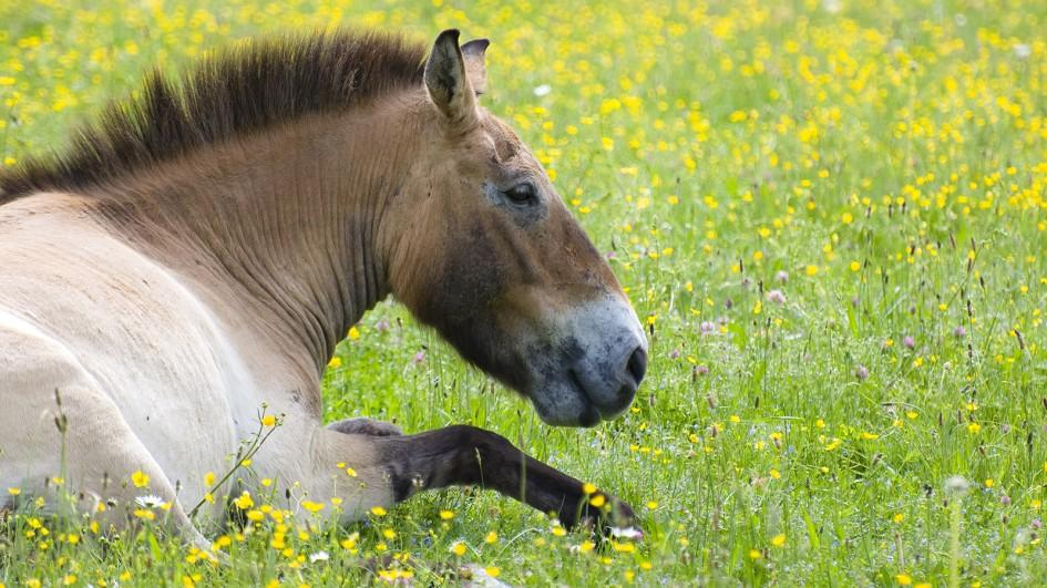 Horses can sleep both standing up and lying down.