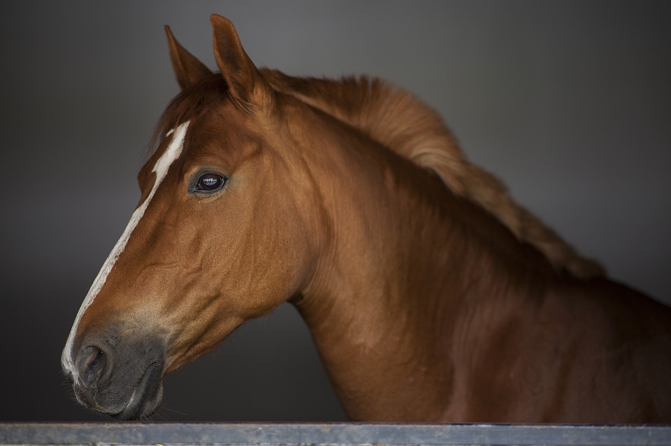 Horses have the largest eyes of any land animal.
