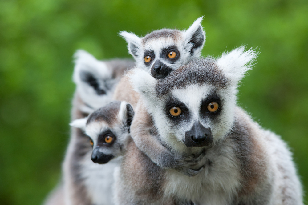 Lemurs are mammals.