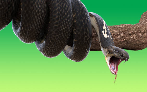 Snakes can open their mouth up to 150 degrees.