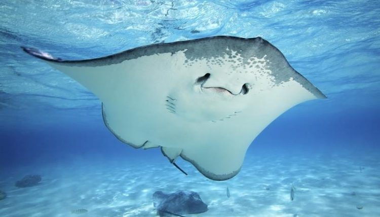 Stingrays eat their food by crashing with their powerful jaws.