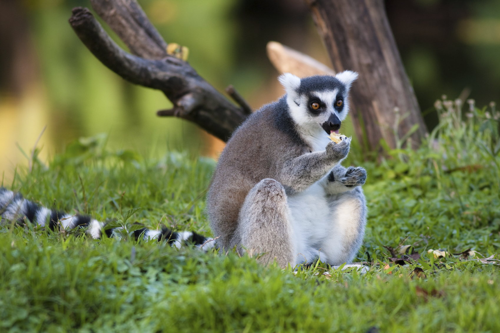The diet of a lemur consists mostly of leaves and fruit.