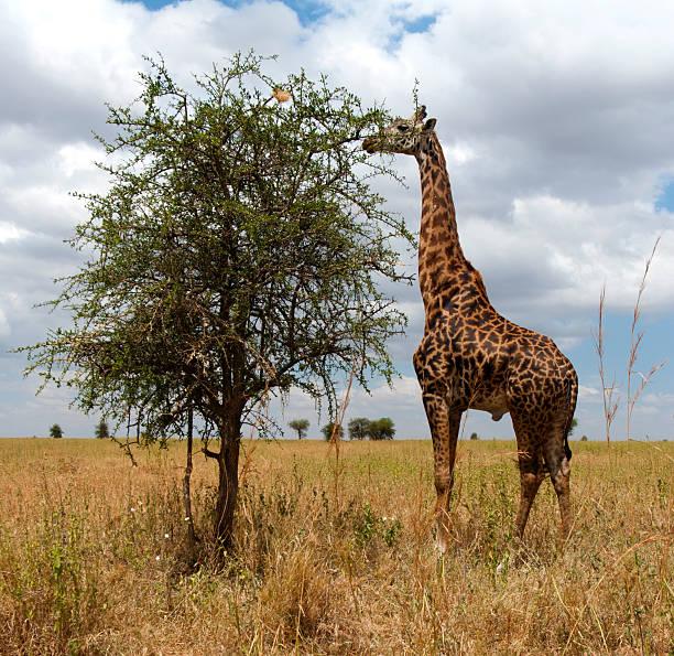 The favorite grub of is Giraffes acacia tree.