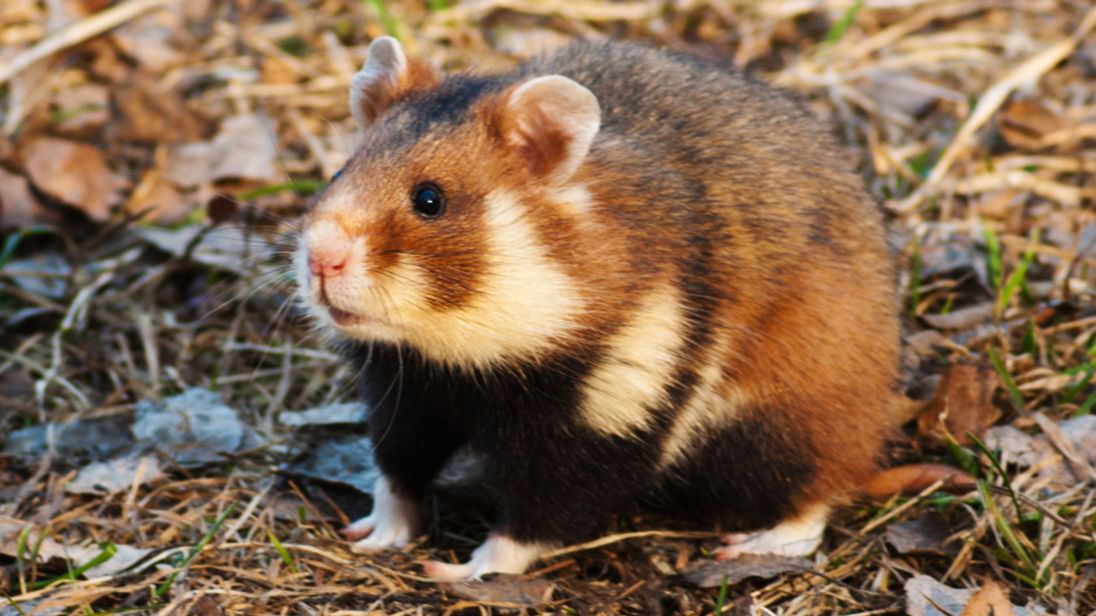 The largest breed of hamster is a European breed.