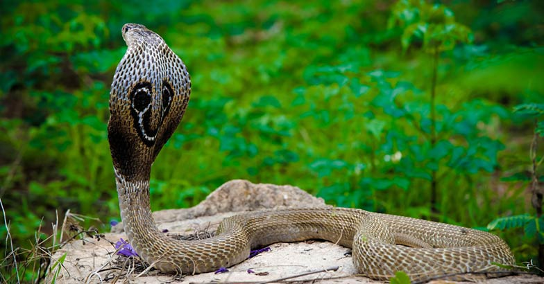 The venom of King Cobra has the ability to kill an elephant.