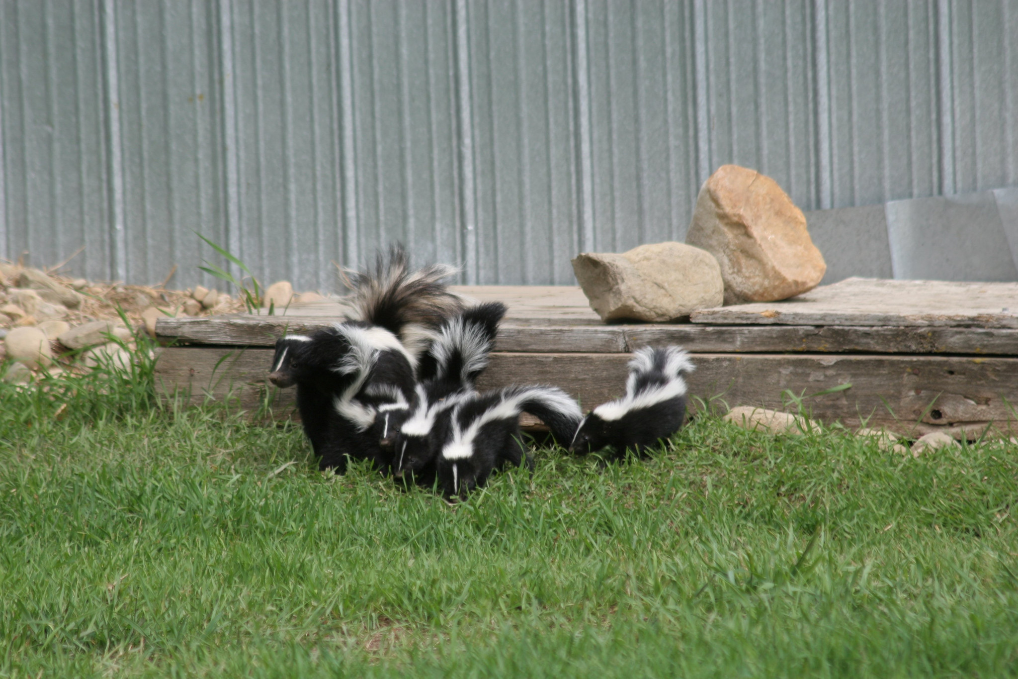 A group of skunks is called a surfeit.