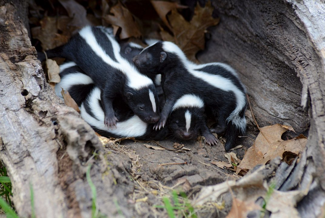 Baby skunk is called kit.