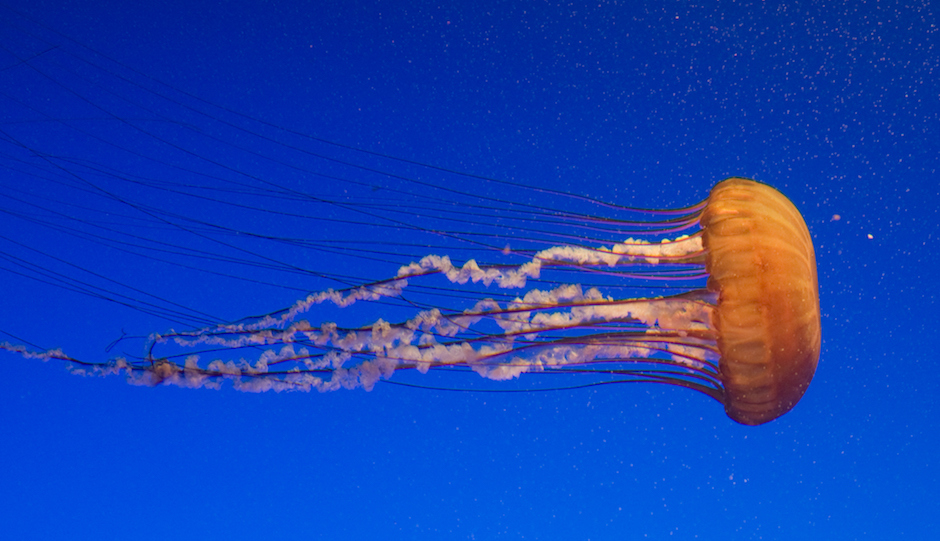 Jellyfish have no backbones.