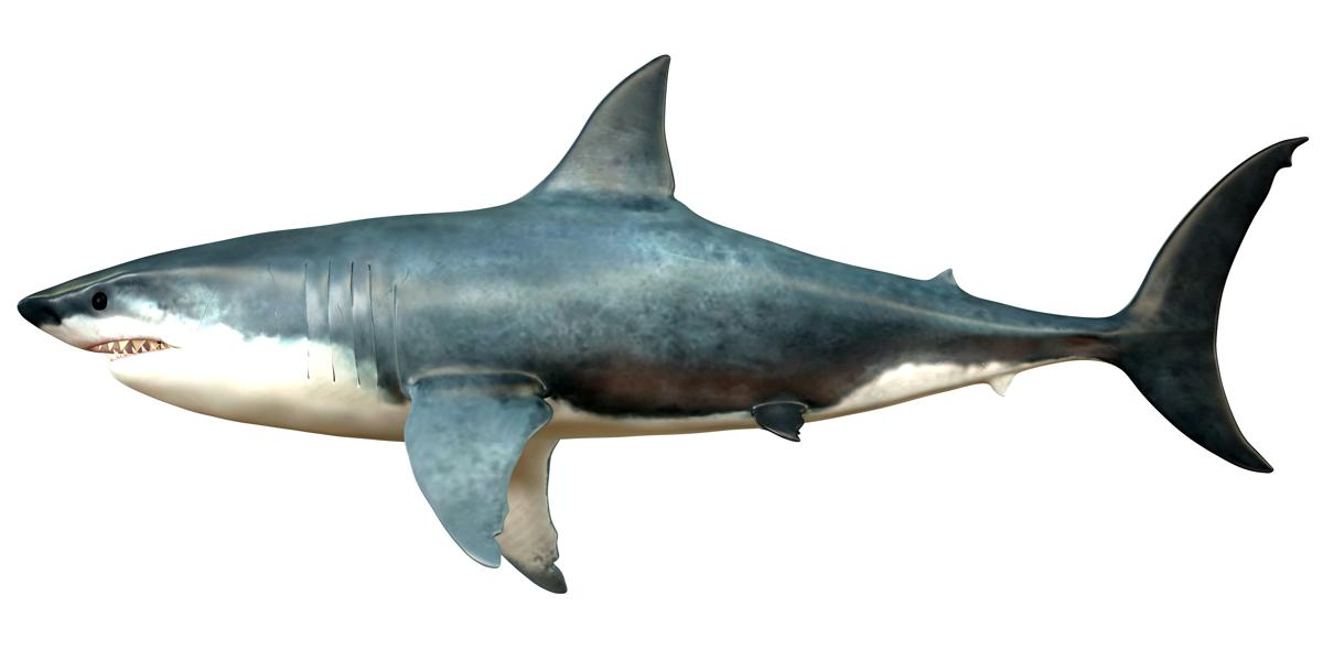 Megalodon was lived in Cenozoic Era.