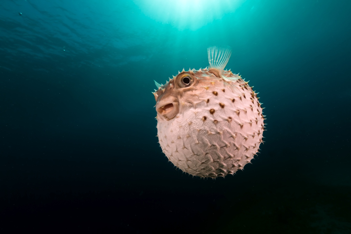Puffer fish's skin is thick and rough.