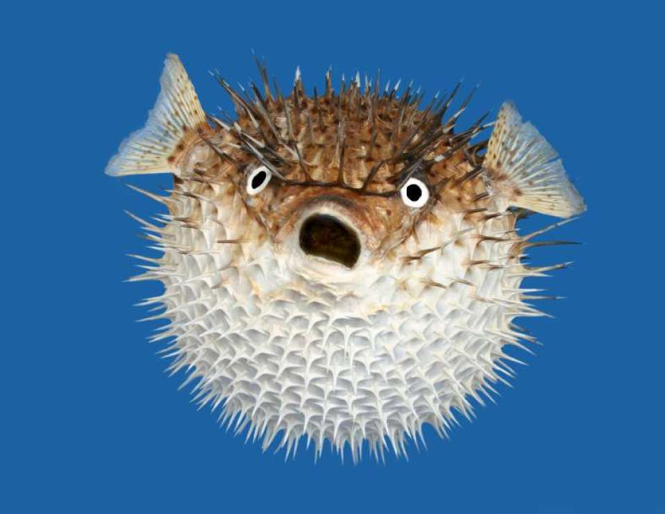 Puffer fish do not have scales.