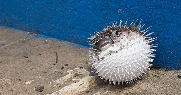 Puffer fish is the most poisonous creature on planet.