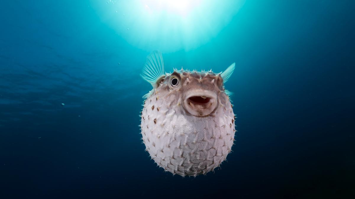 Puffer fish primarily live in salt water.
