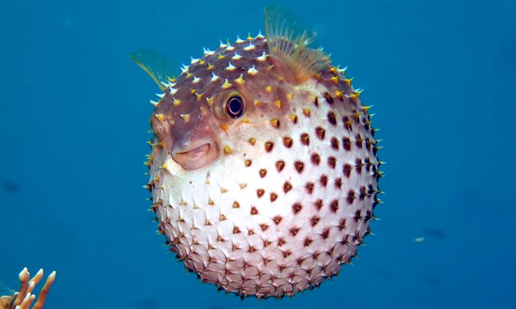 Pufferfish have excellent eyesight