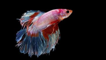 "The ""plakat,"" is the technical name for this fighting fish which mean tearing."