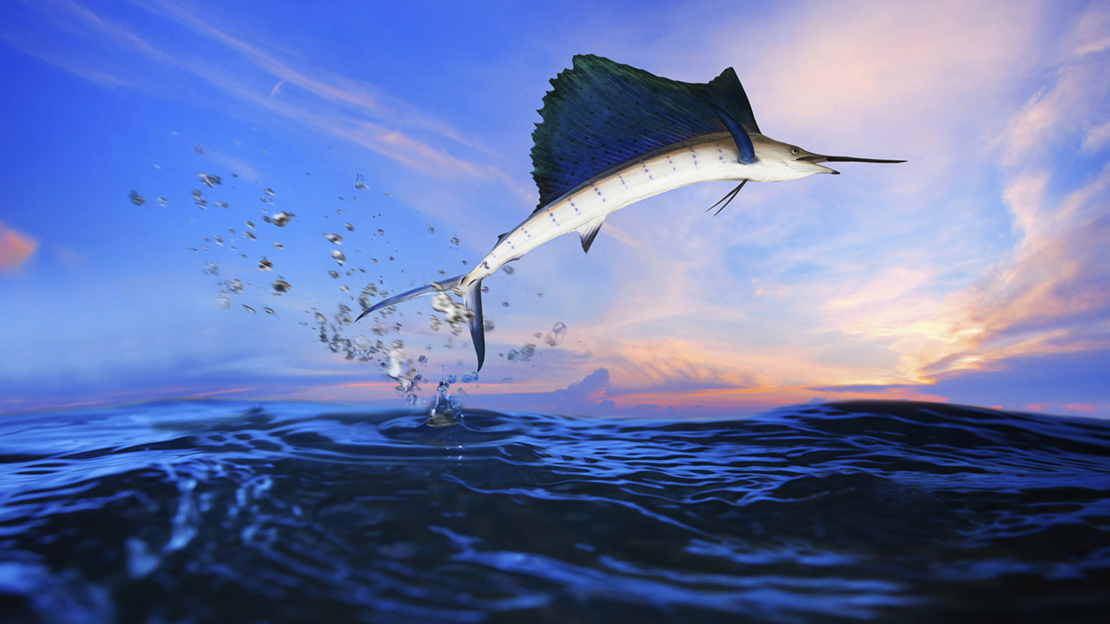 The fastest fish is the sailfish.