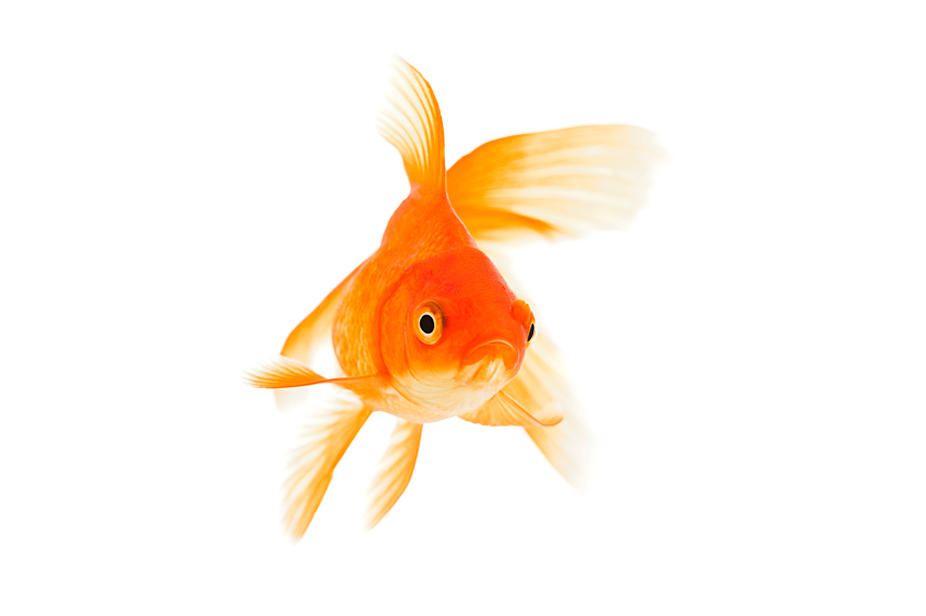 The goldfish has no eyelids.