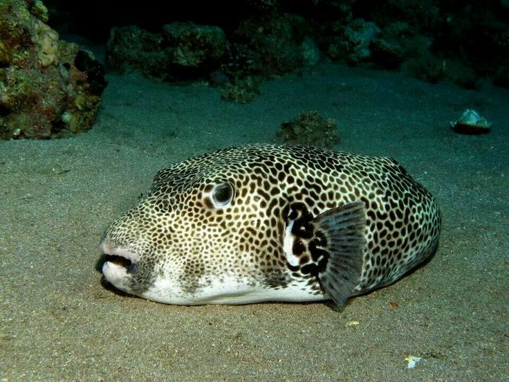 The largest puffer fish is the stellate pufferfish.