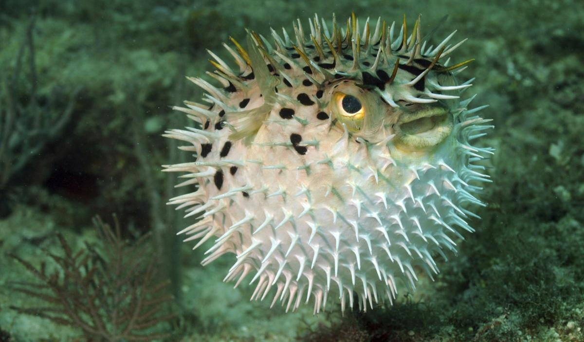 The puffer fish contains tetrodotoxin, a deadly poison.