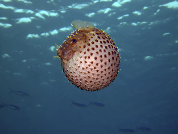 The puffer fish has two sets of skeletons.