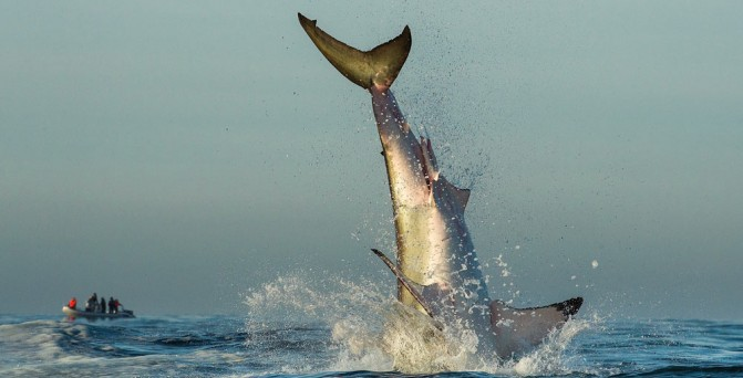 The shark also had well-developed, large and thick fins that helped in the easy navigation.