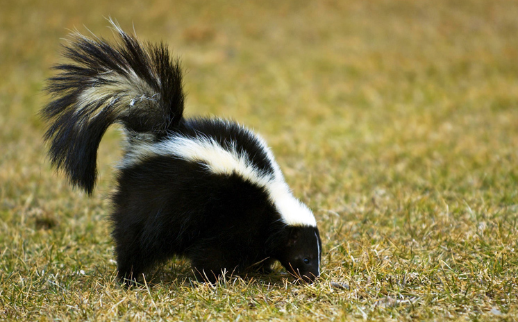 There are 3 types are Hog-Nosed Skunk, Striped Skunks, and the Spotted Skunk.