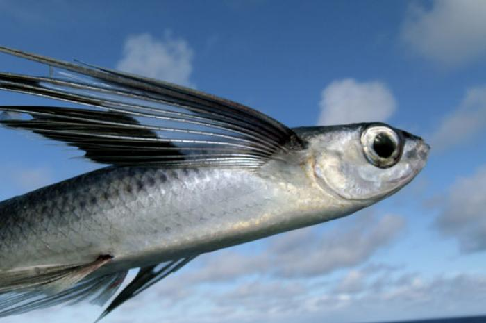 There are at least 40 known species of flying fish.