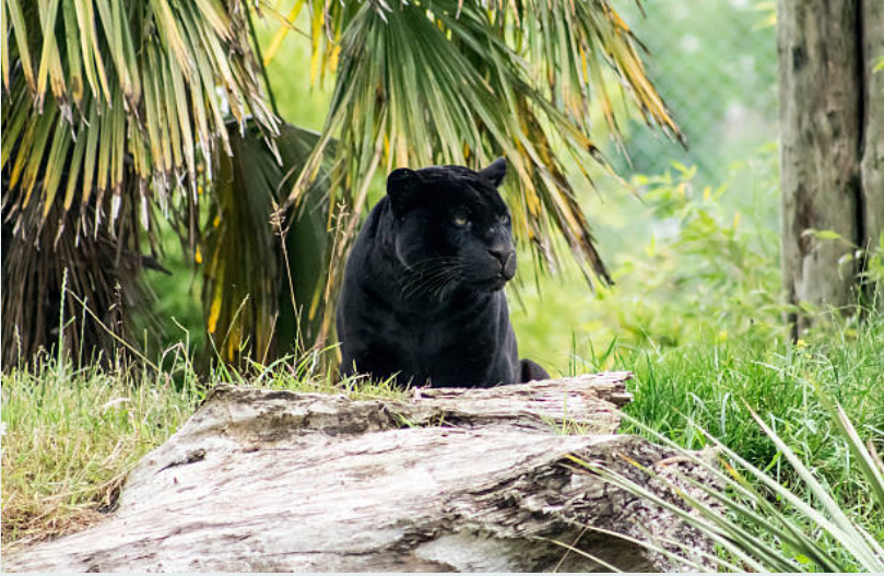 Adult panthers has 7-8 feet in length and weighs between 100-250 pounds.