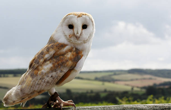 Barn owls have heart shaped face.