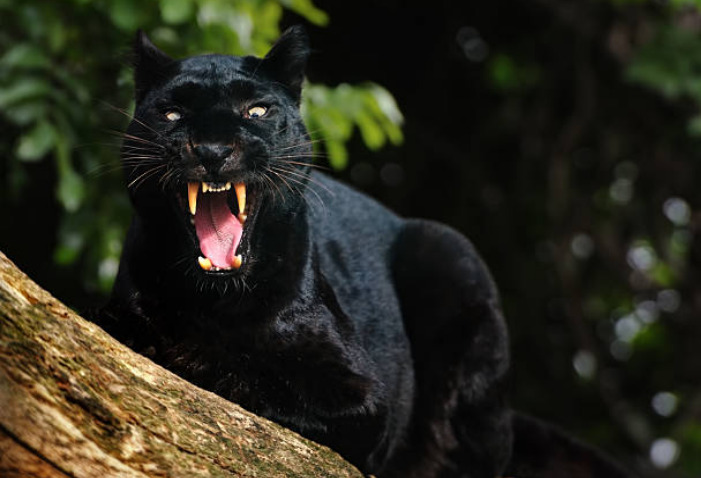 Black panther's dark coat helps it hide and stalk prey very easily, especially at night.