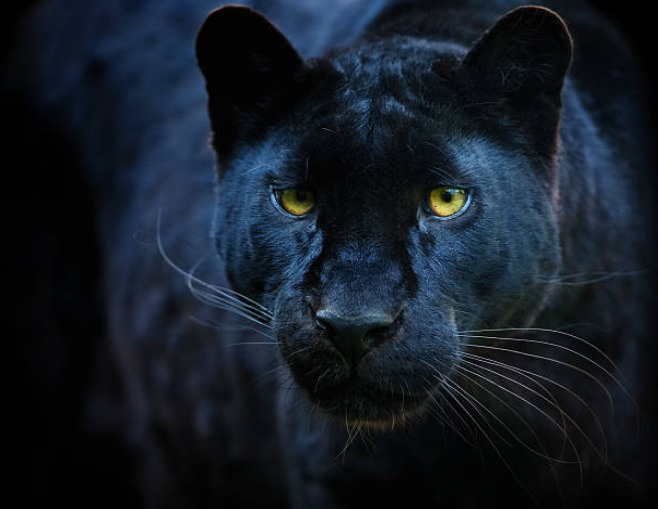 Black panthers are great swimmers.