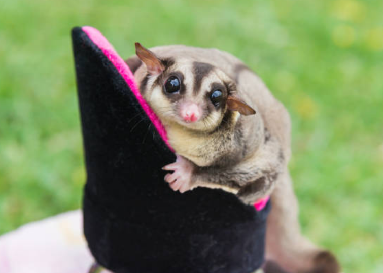 It requires 16 to 20 days for a baby glider to be born.