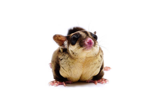 Like kangaroos, sugar gliders have a pouch.