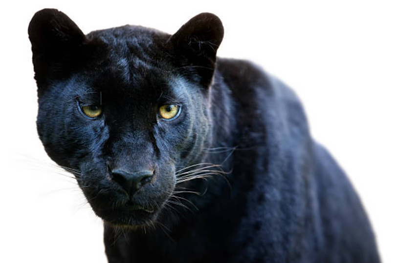 Melanism is the name of the dark color pigmentation mutation in a jaguar that source the fur to be blackish.