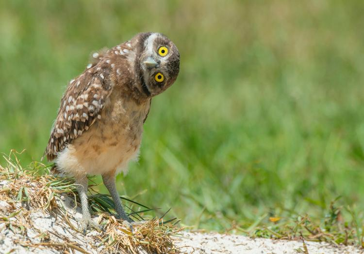 Owls can turn their heads almost completely around.