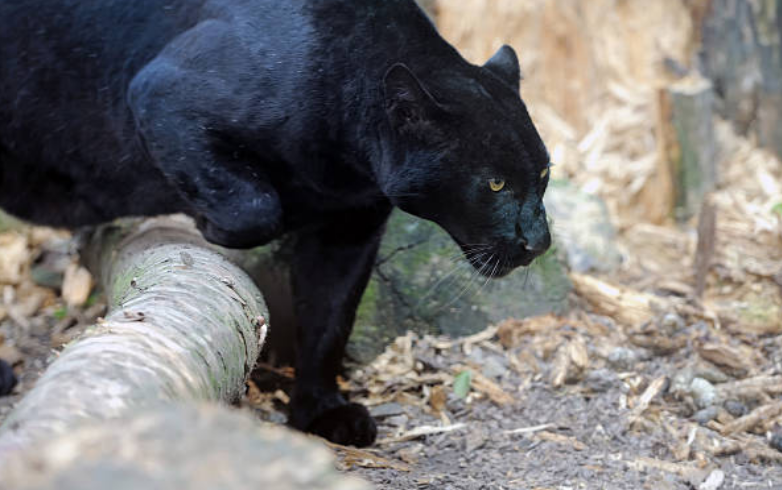 Panther's speed is up to 58 kilometres per hour.