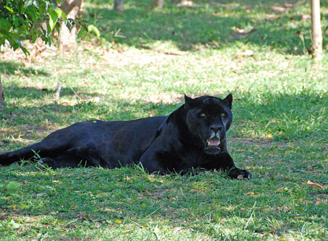 Panthers are solitary animals.