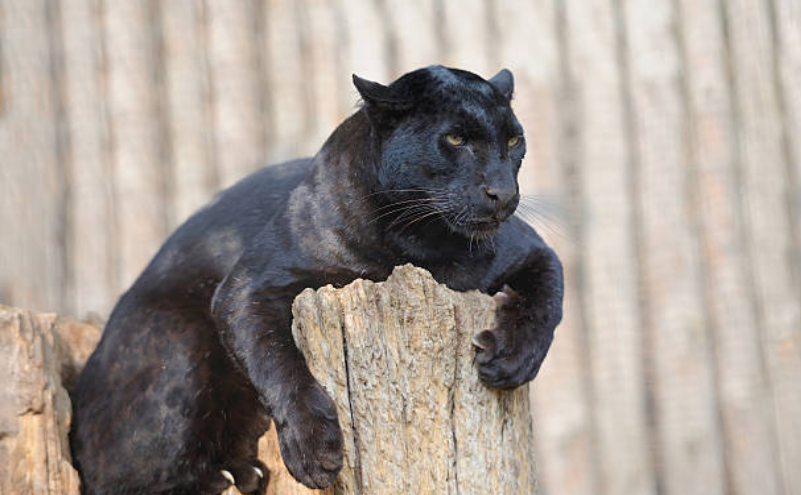 Panthers are the fifth largest species of cat.